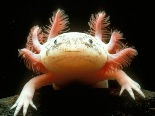 Mexican Axolotl, specific name Ambystoma mexicanum